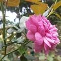 玫瑰39.jpg