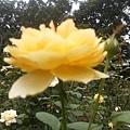 玫瑰42.jpg