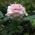 玫瑰57.jpg