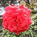 玫瑰56.jpg
