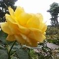 玫瑰62.jpg
