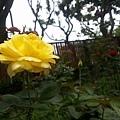 玫瑰61.jpg
