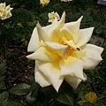 玫瑰69.jpg