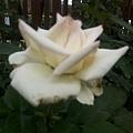 玫瑰74.jpg