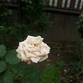 玫瑰76.jpg