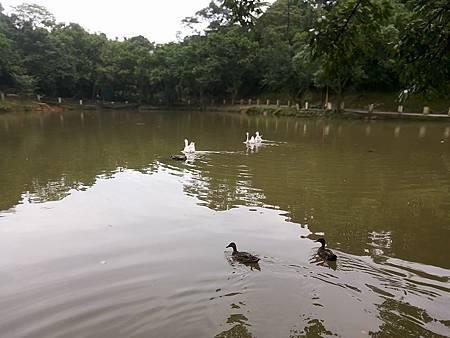 綠頭鴨與白鵝1