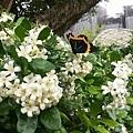 蝴蝶1.jpg