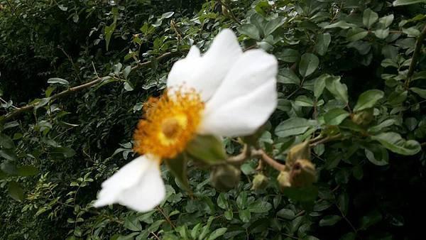 金龜子喜愛的花.jpg