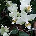 蘭花1.jpg