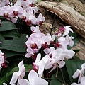 蘭花8.jpg