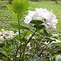 繡球花7.jpg