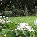 繡球花9.jpg