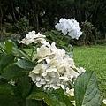 繡球花12.jpg