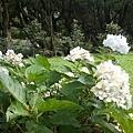 繡球花11.jpg