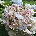繡球花14.jpg