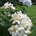 繡球花13.jpg