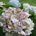 繡球花15.jpg