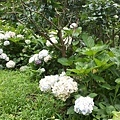 繡球花16.jpg