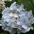 繡球花18.jpg