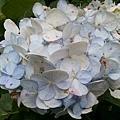 繡球花21.jpg