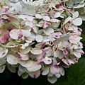 繡球花22.jpg