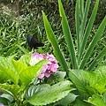 繡球花28.jpg