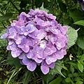 繡球花1.jpg