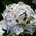 繡球花31.jpg