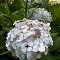 繡球花32.jpg