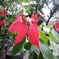 紅葉金花2