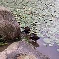 紅冠水雞14.jpg