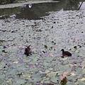 紅冠水雞33.jpg
