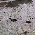 紅冠水雞32.jpg