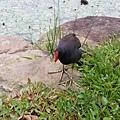 紅冠水雞1