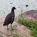 紅冠水雞5