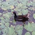 紅冠水雞17