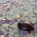 紅冠水雞18