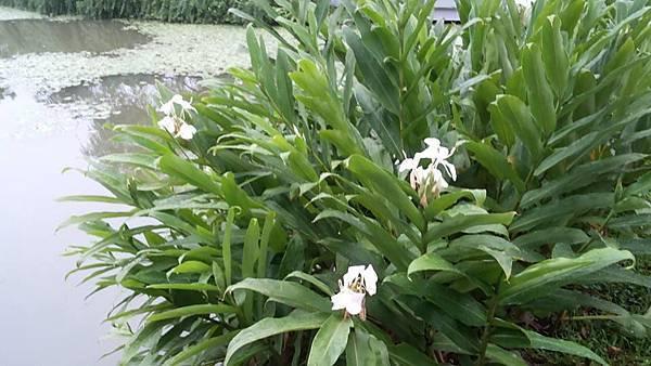 白蓮蕉花14
