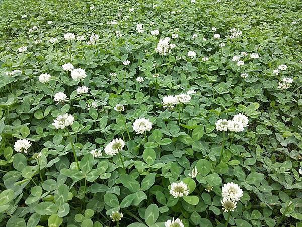 白色苜蓿花4