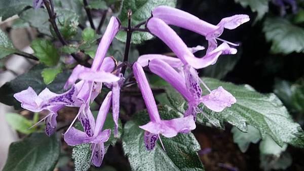 紫鳳凰3.jpg