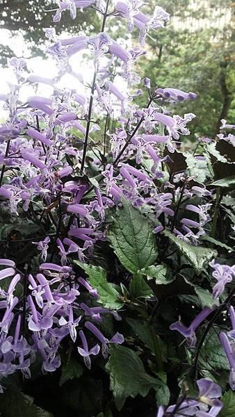 紫鳳凰5.jpg