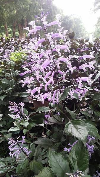 紫鳳凰7.jpg