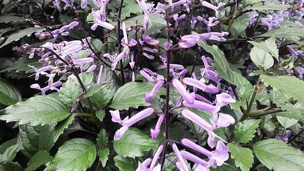 紫鳳凰10.jpg