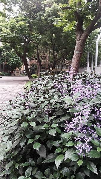 紫鳳凰12.jpg