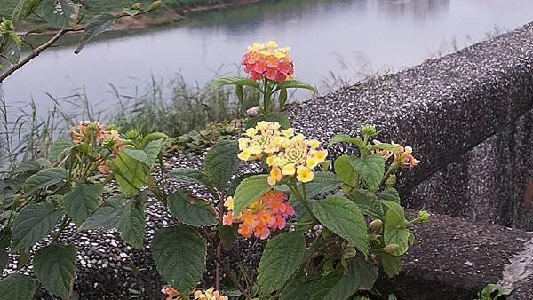 馬櫻丹29