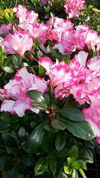 杜鵑花 8