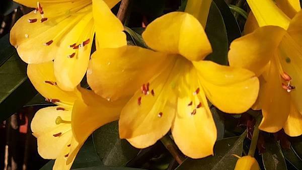杜鵑花 5