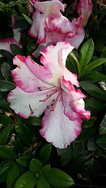 杜鵑花 7
