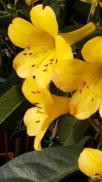 杜鵑花 1