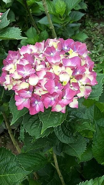 繡球花22
